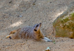 Merkat lying in the sand and very alert.