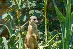 Merkat - Single captive looking out