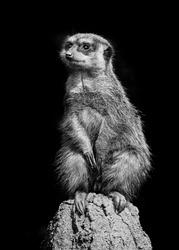 merkat suricata sitting and watching some predator - bw photo