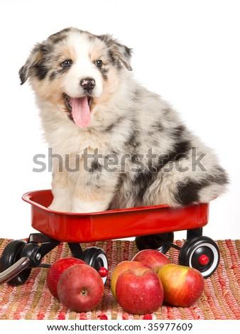 merle australian shepherd pup...