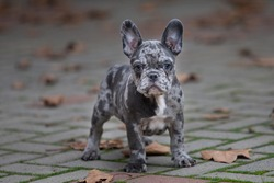 Merle French bulldog puppy outdoor in the garden