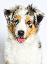 merle puppy australian shepherd dog looking at the camera on a white background