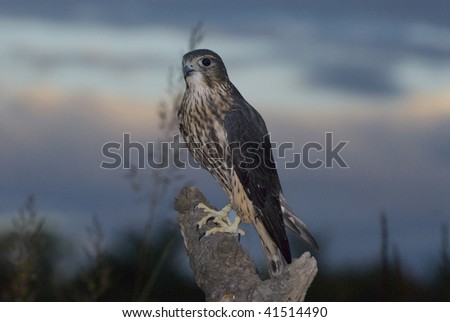Merlin falcon (Falco columbarius) alights on tree limb against sunset sky.