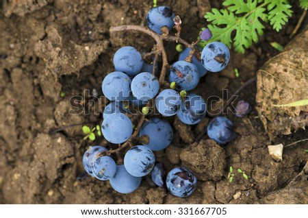 Merlot clusters on the ground in the vineyard in Bulgaria. Selective focus #331667705