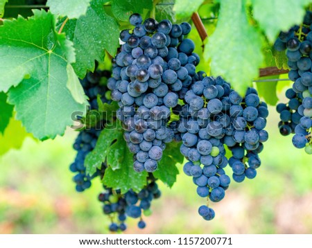 Merlot, grape, beauty in nature Foto d'archivio ©