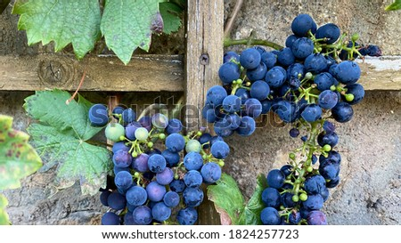 Merlot grape ready for harvest, Wertheim, Germany Foto d'archivio ©