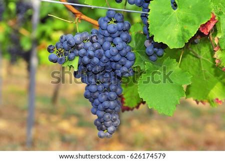 MERLOT grapes. Foto d'archivio ©