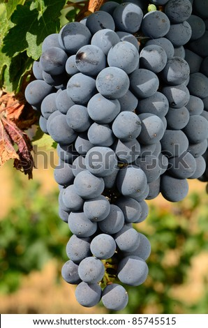 Merlot grapes ripening on the vine in the Umpqua Valley of Southern Oregon