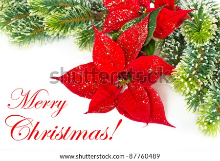 Merry Christmas! card concept. Red Poinsettia. Christmas Flower with golden decoration