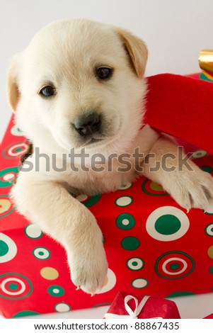 Merry Christmas - portrait of cute labrador puppy for Christmas gift