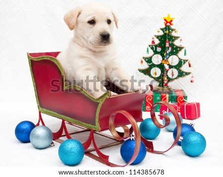 Merry Christmas - portrait of cute labrador puppy in Christmas sledge
