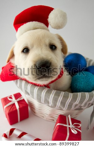 Merry Christmas - portrait of cute labrador puppy in Santa hat