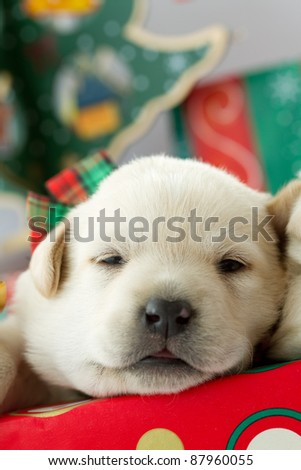 Merry Christmas -  puppy in a Christmas gift