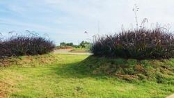 Mesmerizing Purple fountain ornamental grasses Plant in Garden Landscaping at hatapan indah