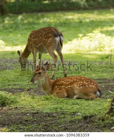 Mesopotamian, Fallow Deer (Dama dama mesopotamica) eats at the edge of the forest