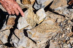 mesosaurus fossil dinosaur