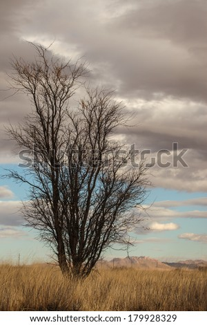 Mesquite tree on dry grassland with gray and white clouds in sky/Wild, Tall Mesquite Tree on Semi-Desert Grassland on Gray Cloudy Day and Blue Sky/Bare tall tree in winter with gray clouds in blue sky