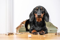 Mess and naughty dachshund puppy was locked in room alone and chewed hole in door to get out. Poorly behaved pets spoil furniture and make mess in apartment