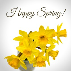 Message Happy Spring above Group of beautiful Daffodil flowers isolated against white background