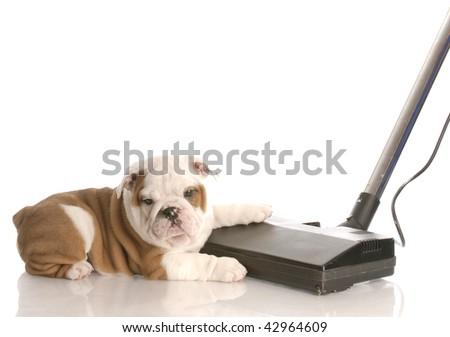 messy dog - english bulldog laying beside vacuum