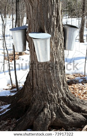 Metal Maple Sap Buckets Attached To A Tree Collecting Sap For The Production Of Canadian Maple Syrup