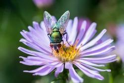 Metallic green fly on flower