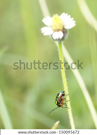 metallic green-orange -pink bug, tropical beetles with black dots creeping under sunlight in summer on a grass flower in green area in nature with natural bokeh background, Thailand