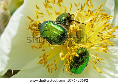 metallic green rose chafers between stamens of a white peony flower #1096753592