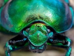 metallic green textured scarab beetle macro