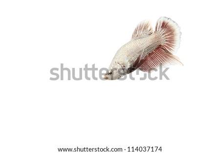 metallic white fish