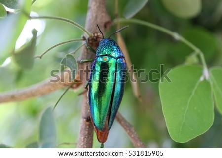 metallic wood-boring beetle #531815905