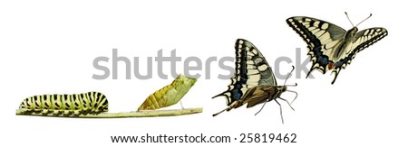 Metamorphosis (life cycle) of the Swallowtail (Papilio machaon). 3 different instars (stages).