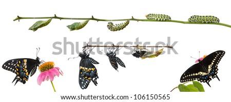 Metamorphosis of Butterflies   Eastern Black Swallowtail (Papilio polyxenes)