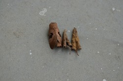 Metanastria hyrtaca, caled the hairy caterpillar as a larva, is a moth of the family Lasiocampidae. Brown dried rolled Leaf-like moth.Arthropoda Lepidoptera. India September month. With two dry leaves