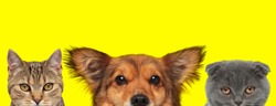 metis cat, metis dog and Scottish Fold cat are standing next to each other and looking ahead on yellow background