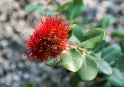 Metrosideros excelsa, Myrtaceae, New Zealand