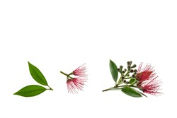metrosideros excelsa - new zealand christmas tree red flowers isolated on white background with copy space above