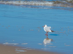 Mew, seabird walking on tthe beach, Niechorze, Baltic sea, polish seaside, Poland