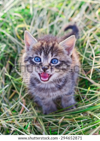 Mewing gray striped kitten. Striped not purebred kitten. Kitten on a green grass. Small predator. Small cat.
