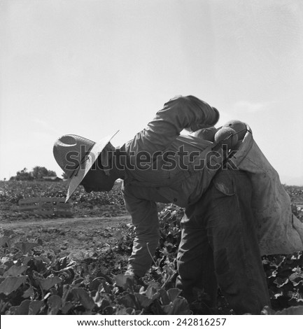Mexican-American farm laborer bent over picking melons in the Imperial Valley, California. May 1937 photograph by Dorothea Lange.