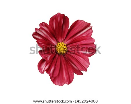 Mexican Aster, Garden Cosmos, Cosmos flowers, Cosmos flowers Isolated on white background