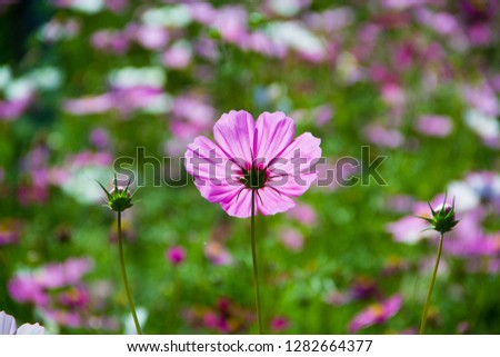 Mexican Aster,Mexican Aster and blurred background,Cosmos bipinnatus Cav,Sulfur Cosmos,Violet Cosmos,Sulfur Cosmos and green background,