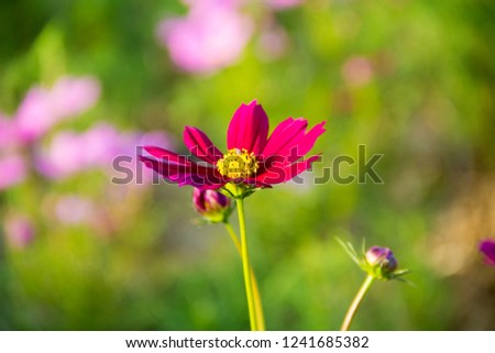 Mexican Aster,Mexican Aster and blurred background,,Cosmos bipinnatus Cav,Sulfur Cosmos,Yellow Cosmos,Sulfur Cosmos, and green background,