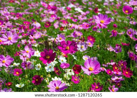 Mexican Aster,Mexican Aster in the field,Cosmos bipinnatus Cav,Sulfur Cosmos,Violet Cosmos,Sulfur Cosmos in the garden