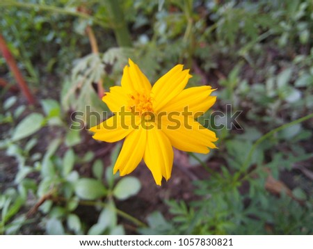 Mexican Aster or Cosmos bipinnatus on green leaves background #1057830821