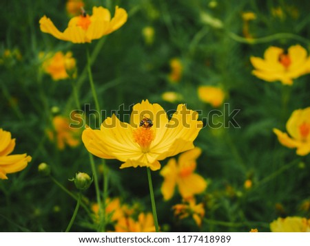 Mexican Aster,Sulfur Cosmos or Yellow Cosmos