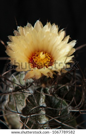 Free photos yellow flower with red center on a white background mexican cactus with curly spines astrophytum capricorne with yellow flower with red center detail of mightylinksfo