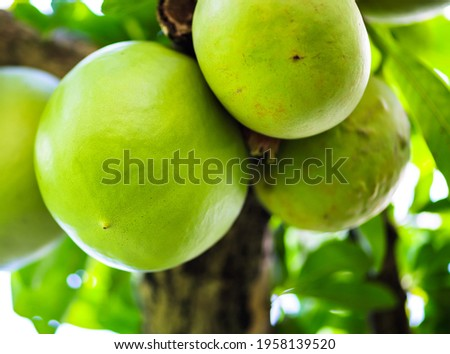 Mexican calabash green unripe fruit on a tree closeup. Botanical illustration. Calabash tree. Calabash tree in a garden Stockfoto ©