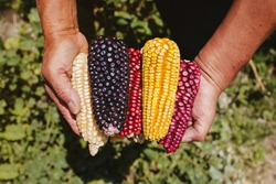 Mexican Corn, maize dried blue corn cobs on mexican hands in Mexico