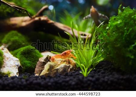 Mexican Crayfish for Nano Aquariu #444598723